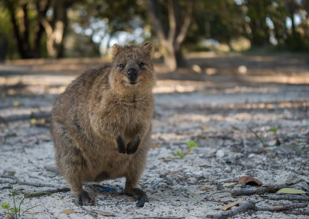 increase content quality with visuals like this image of a Quokka