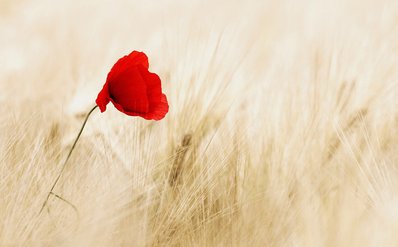 A red flower in the middle of a field